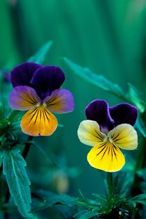 Viola Twins 228 by Patrick O'Leary