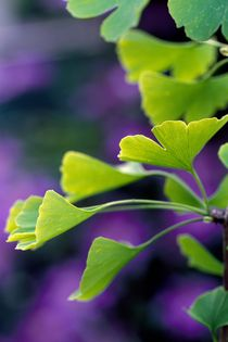 Gingko 318 by Patrick O'Leary
