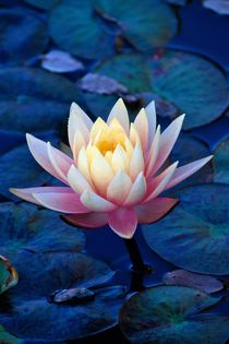 Waterlily at Sunset 663 by Patrick O'Leary