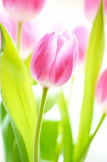 Tulpe by Elvira Seiler