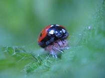 ladybug by Mohammad Goudarzi