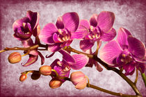Purple Orchid by Milena Ilieva