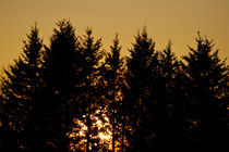 Pine Sunset by linconnu