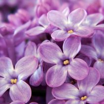 Sweet lilac by sharon lisa clarke