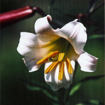 lilium candidum  -  madonnenlilie von helmut krauß