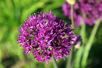 Allium by Sandra Woods