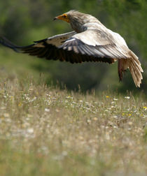 Egyptian-vulture-flight-60