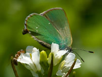 Close-up-green-hairstreak-butterfly-on-flower-the-holy-trinity-monastery-034