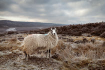 North York Moors Sheep by Martin Williams