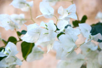 White Bougainvillea's Bloom. Photography. von Larisa Kroshkin