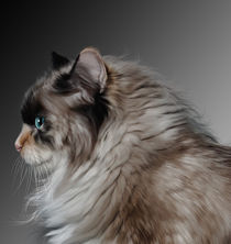 Portrait of a Ragdoll Cat by Kathleen Stephens