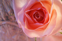 DELIGHTFUL GRACE ~ Pink Rose by JET Adamson