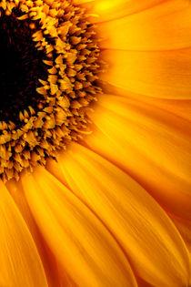 Sun Burst - Sunflower von Martin Williams
