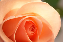 Radiant Bloom ~ Peach Rose by JET Adamson