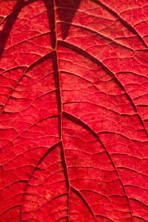 Veins by lotusaqua
