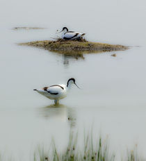 Avocets by ian hufton