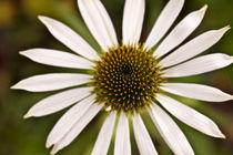 Daisy von lotusaqua