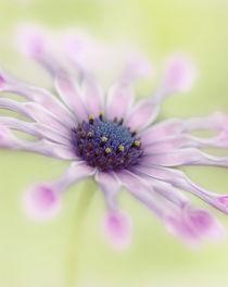 Osteospermum Whirligig by Martin Williams