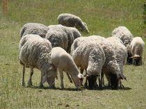 Schafe von Ka Wegner