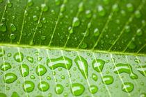 Wassertropfen, Waterdrop - Fresh green leaf  von Tobias Pfau