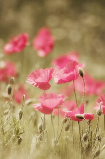 rosa Mohn Art von Tanja Riedel