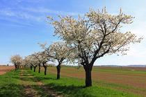 Kirschblütenzeit von Wolfgang Dufner