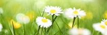 Spring Meadow Panorama With Golden Daisies by Tobias Pfau
