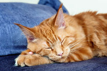 Sleeping Maine Coon Cat by holka
