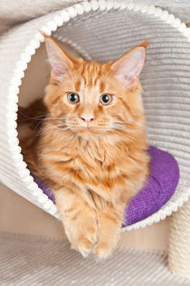 Red Classic Tabby  von holka