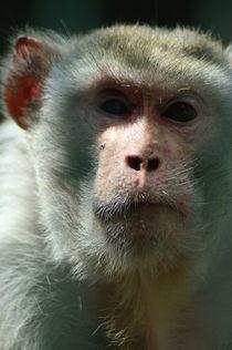 Rhesusaffe/rhesus monkey by Ulrike Linn