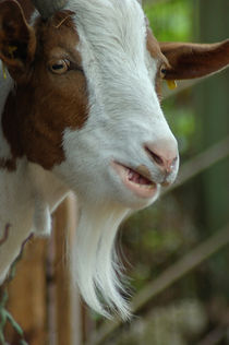 Ziegenbock/billy goat by Ulrike Linn