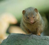 Zwergmanguste/mongoose von Ulrike Linn