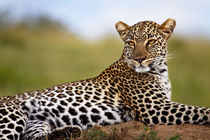 Leopard on termite hill by Maggy Meyer