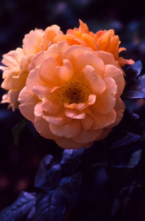 rosa (rose) von helmut krauß