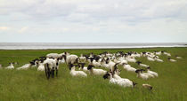 Schafe am Deich - Sheep on dike by ropo13
