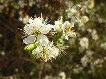 Spring Blossom  von Sarah Couzens
