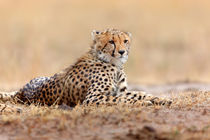 Young Cheetah, Masai Mara, Kenya by Maggy Meyer