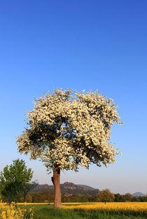 Baumblüte im Elbsandsteingebirge von Wolfgang Dufner