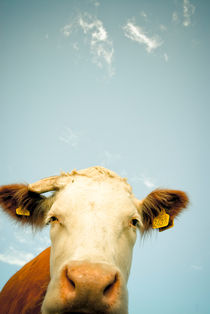 Curious Cow by Lars Hallstrom