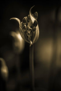 Agapanthus-in-sepia-1-of-1