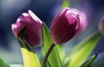 zwei tulpen (tulipa) by helmut krauß
