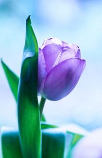 tulipa (tulpe) von helmut krauß