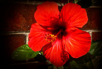 Red hibiscus by Milena Ilieva