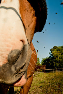 Horse and flies by Lars Hallstrom