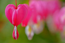 Tears in my eyes ~ Bleeding Heart by JET Adamson