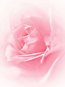 P7122034-soft-pink-rose-filtered