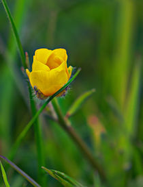 Buttercup by David  Hollingworth
