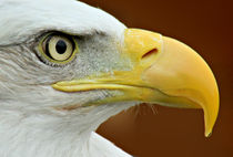 Bald Eagle profile by Mark Bunning