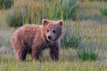 Coastal Brown Bear Cub by David DesRochers
