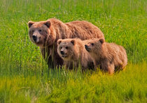Coastal Brown Bear Mother and Cubs by David DesRochers